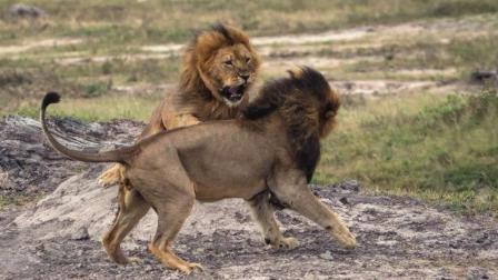 狮王闯入年轻狮子的领地, 结果被年轻狮子打成残废