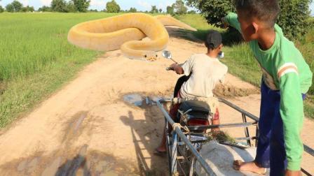 哥哥弟弟割草去喂牛, 半路杀过来一条大蟒蛇, 他们却这样做!