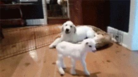 狗子对着小羊疯狂抖音, 小羊脸上写满了二货