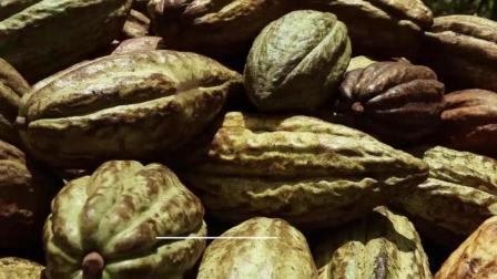可可豆的华丽转身-可可豆变身美味巧克力的十个步骤