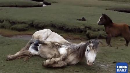 有爱! 母马被鬃毛缠住马蹄无法站立 小马焦急等众人解救