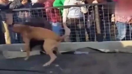 天价藏獒对战日本土佐犬, 中华第一犬来的名副其实