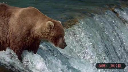 阿拉斯加的棕熊_电影_棕熊大瀑布捕鱼, 鱼自己送嘴边来