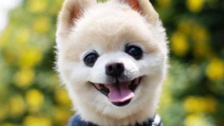 世界上并不存在俊介犬这个品种, 想养俊介买它就对了! -汪星人的秘密EP5