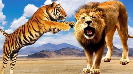 如果把老虎放在非洲会打赢狮子吗? 活的不如狗! 画面亮了!
