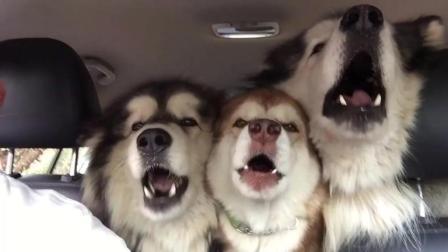 一群阿拉斯加在车里唱歌呢