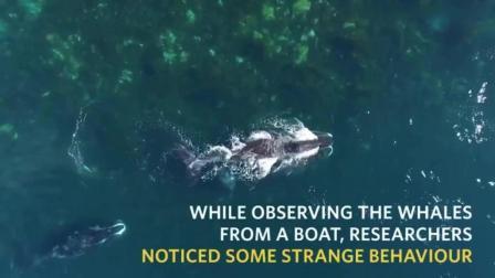 """罕见! 大型北极露脊鲸让石头给它""""搓背"""""""