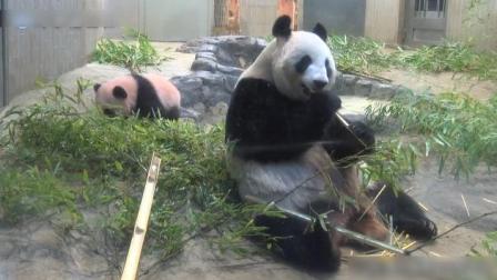 熊猫麻麻被熊猫宝宝吓到了