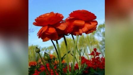罕见的玫瑰, 太美了