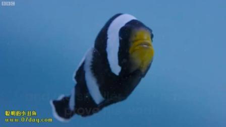 7天造景 观赏鱼 聪明的小丑鱼