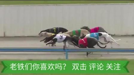中国细狗大战惠比特比赛直播, 画面太美 不忍直视