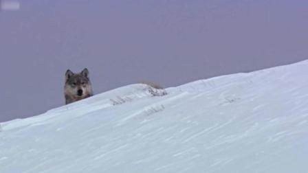 动物也疯狂! 母狼外遇后无法分开, 被头狼抓现场