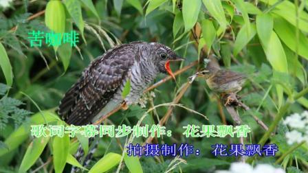经典老歌《苦咖啡》卡拉OK伴奏 鸟类视频 野生鸟视频