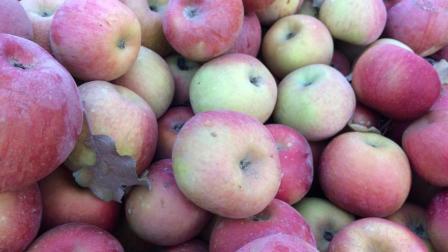 阿克苏的冰糖心苹果好吃, 小编带大家去果园看看真正的冰糖心