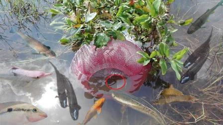 柬埔寨鱼多成灾, 农村小伙自制陷阱捕鱼, 第二天捞上来乐坏了!