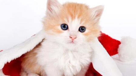 搞笑大猫咪, 这么呆萌的猫咪哪里买