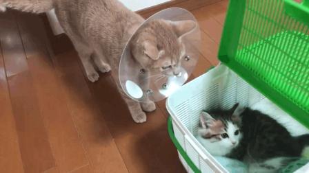 家里来了一只新的猫崽崽, 猫主子立马精神抖擞的围着猫崽子转了