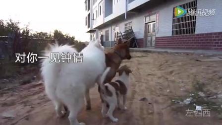 土狗在农村拉帮结派 萨摩耶举动看得让人傻眼