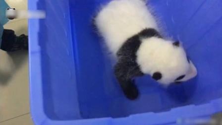 熊猫宝宝萌萌的叫声你听过吗