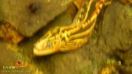 7天造景 观赏鱼 豹纹裸胸鯙
