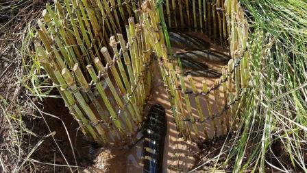 刚犁过的水田鱼多, 农村妇女用竹子编织做陷阱, 竟钻进一窝土货!