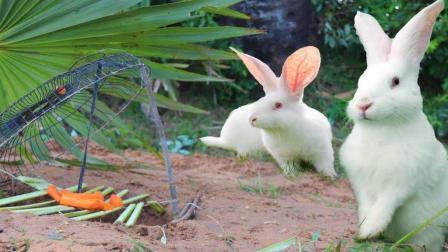 神器啊! 农村小伙山坡上用风扇抓野兔, 5个小时竟抓到两只大货