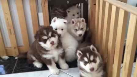 一群萌萌的狗狗看着你 都不好意思了