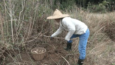 农村最好种的山货之一, 扔土里不用管, 冬天一挖一大把!