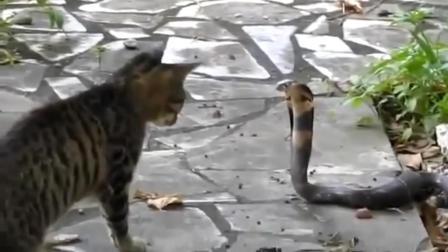 为什么猫咪不怕蛇咬, 猫蛇大战, 蛇被打的怀疑认生