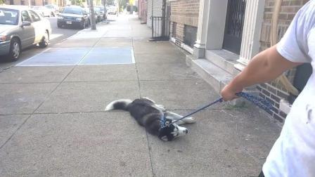 哈士奇想要呆在外面玩不想回家被主人拖回去