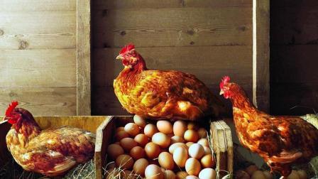 印度母鸡成精了? 一次下35颗鸡蛋, 没有一个人敢吃!