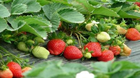 草莓种植技术 大棚草莓种植技术 草莓疾病防治与治疗 草莓种植