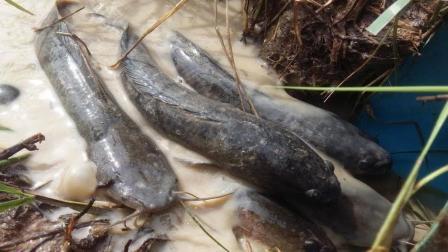农村小伙野外抓鱼, 二十多块一斤的野生鱼, 少之又少了!