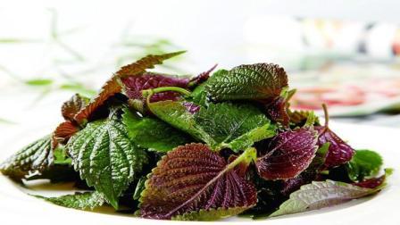 紫苏叶: 被忽略的药食同源养生保健佳品 最适宜7大症状