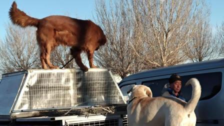 实拍农村狗市火爆场面, 种类繁多各种大型犬小型犬, 要价更是惊人