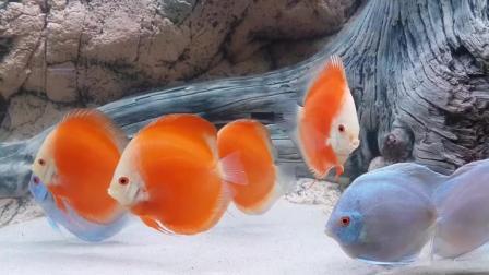 7天造景 七彩神仙鱼天之蓝与红富士