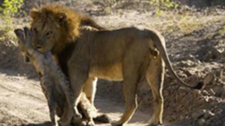 实拍非洲狮子咬死鬣狗后并吃掉
