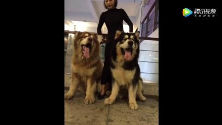 女主人牵着两条巨型犬逛街, 男友力简直爆棚!
