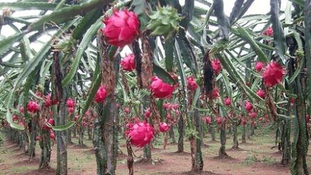 火龙果种植技术 无公害火龙果栽培方法 火龙果科学种植技术 红心火龙果种植技术