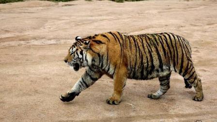 丛林之王东北虎大战棕熊, 精彩绝伦, 不容错过