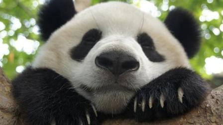 粑粑跟熊猫玩自拍熊猫就知道吃