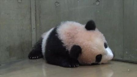 熊猫宝宝一个人玩好无聊啊睡着了