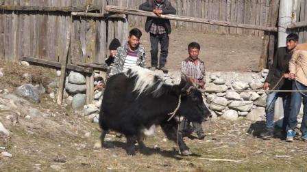 彝人视角摄影实拍凉山彝族人全村出动来杀牦牛做新婚准备