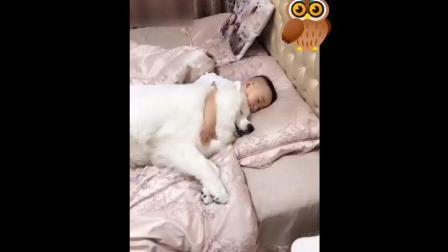 好暖心 萨摩陪小主人睡觉