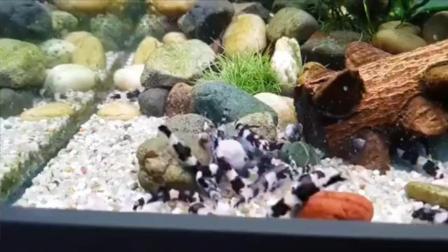 7天造景 熊猫鳅