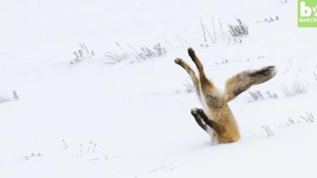 2017年动物搞笑大赛, 见过潜水的狐狸吗? 更多惊喜看这里........