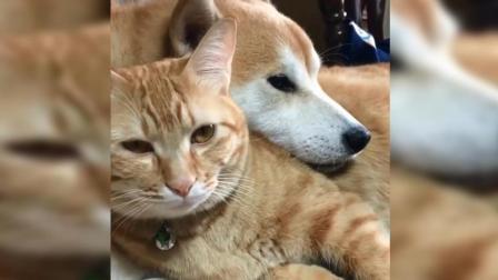 柴犬把狗头搭在橘猫身上, 猫咪的反应亮了!