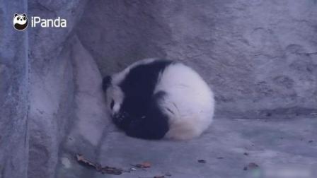 熊猫宝宝在角落里缩成一个萌萌的球