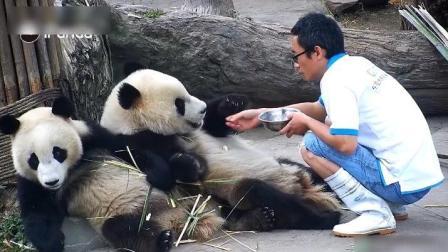 饲养员给熊猫宝宝吃东西