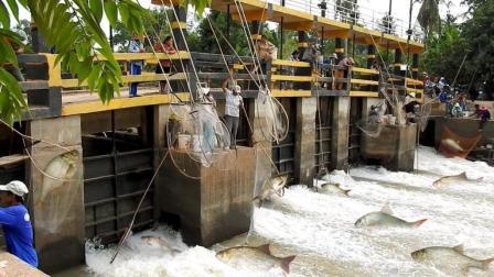 鱼群回游产卵, 人们急流中撒网, 10分钟就那么多鱼, 你不一定见过